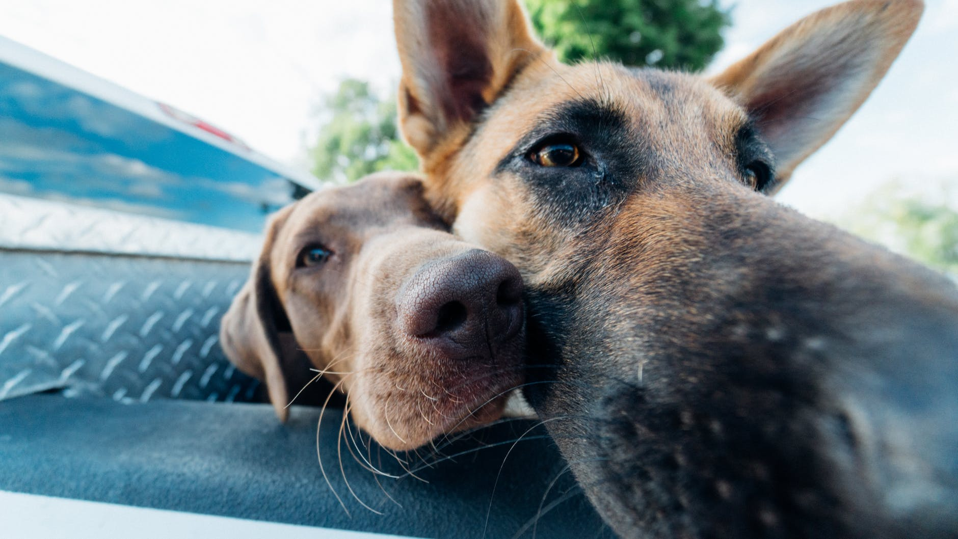 closeup photo of two dogs in vehicle
